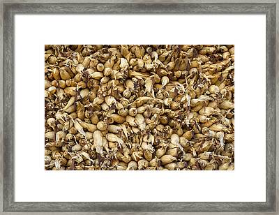 Corn Drying Framed Print by Dutourdumonde Photography