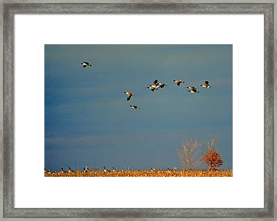 Corn For Breakfast Framed Print by Skip Willits