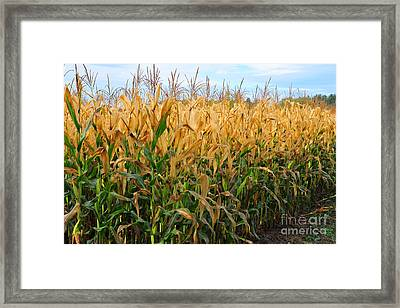 Corn Harvest Framed Print by Terri Gostola