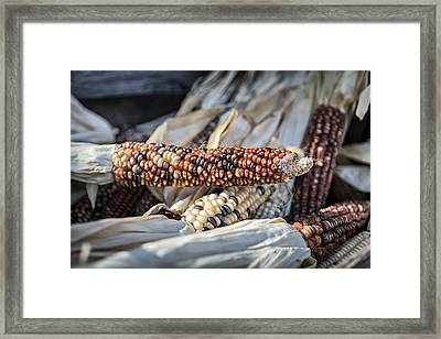 Corn Of Many Colors Framed Print by Caitlyn  Grasso