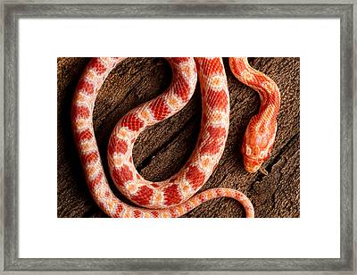 Framed Print featuring the photograph Corn Snake P. Guttatus On Tree Bark by David Kenny