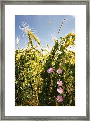 Cornfield With Beautiful Flowers In Summer Framed Print by Matthias Hauser