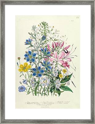 Cornflower Framed Print by Jane Loudon