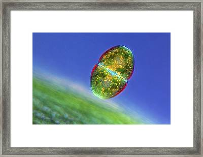 Cosmarium Desmids, Light Micrograph Framed Print by Science Photo Library