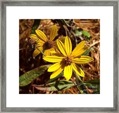 Cosmos Flower Framed Print by Andrea Anderegg