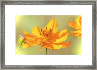 Framed Print featuring the photograph Cosmos Flowers by A Gurmankin
