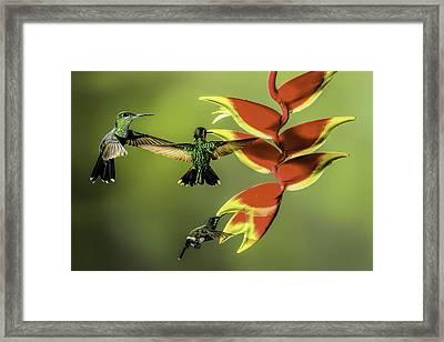Costa Rican Hummingbirds Framed Print by Myer Bornstein