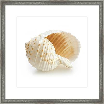 Costate Tun Sea Shell Framed Print by Science Photo Library
