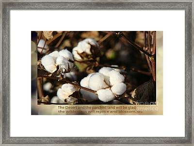 Cotton Bolls Ready For Harvest Framed Print by Beverly Guilliams