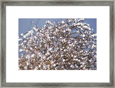 Cotton Snow Framed Print by Carol Lynch