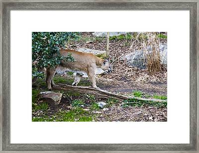 Cougar Comes Out Of Trees Framed Print by Chris Flees