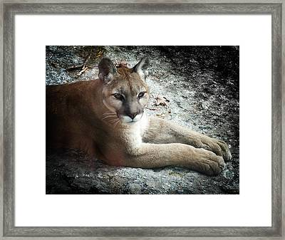 Cougar Country Framed Print by Karen Wiles