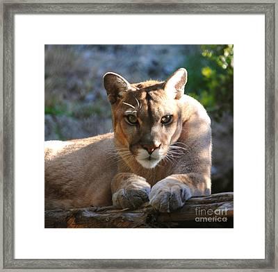 Cougar II Framed Print by DiDi Higginbotham