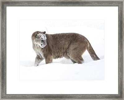 Cougar On A Winter Prowl Framed Print by Inspired Nature Photography Fine Art Photography
