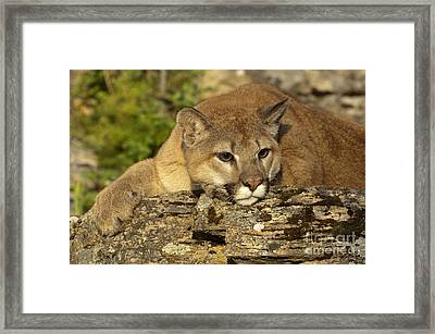 Cougar On Lichen Rock Framed Print by Sandra Bronstein