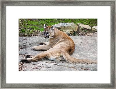 Cougar Restin On A Rock Framed Print by Chris Flees