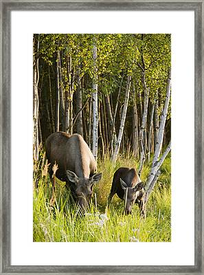 Cow And Calf Moose Feeding Along The Framed Print by Kevin Smith