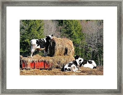 Cow Country Buffet Framed Print by Christina Rollo