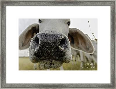 Cow Nose Framed Print by Cindy Bryant