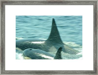 Cow Orca And Her Calf Framed Print by Jeff  Swan