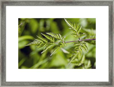 Cow Parsley (anthriscus Sylvestris) Framed Print by Science Photo Library