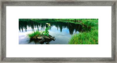 Cow Parsnip Heracleum Maximum Flowers Framed Print by Panoramic Images