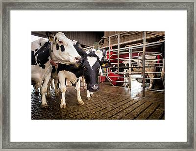 Cows And Milking Machine Framed Print by Aberration Films Ltd