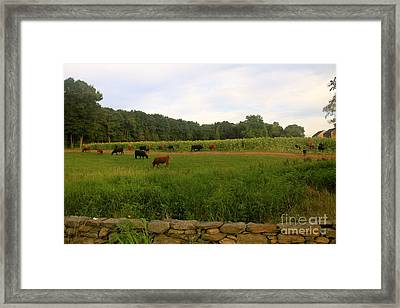 Cows At Buttonwood Framed Print by Dorothy Drobney