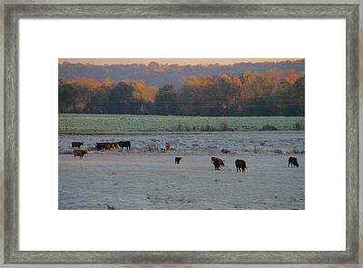Cows At Sunrise Framed Print by Dan Sproul