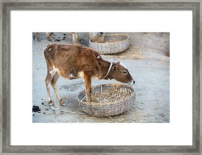 Cows Belonging To Subsistence Farmers Framed Print by Ashley Cooper