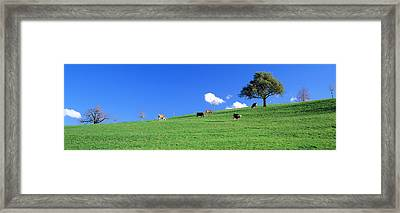 Cows, Canton Zug, Switzerland Framed Print by Panoramic Images