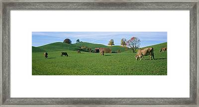 Cows Grazing On A Field, Canton Of Zug Framed Print by Panoramic Images