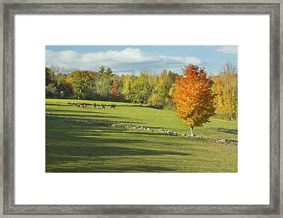Cows Grazing On Maine Farm Field In Fall  Framed Print by Keith Webber Jr