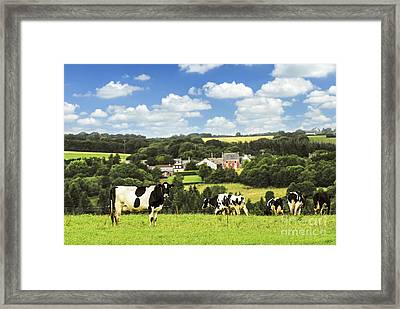 Cows In A Pasture In Brittany Framed Print by Elena Elisseeva
