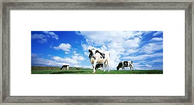 Cows In Field, Lake District, England Framed Print by Panoramic Images
