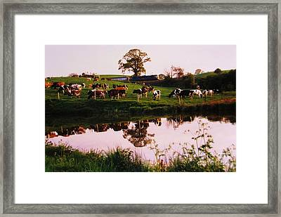 Cows In The Canal Framed Print by Martin Howard