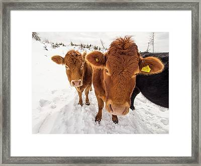 Cows In Winter Framed Print by Ashley Cooper