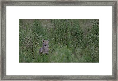 Coyote Alert Framed Print by Lisa Hale