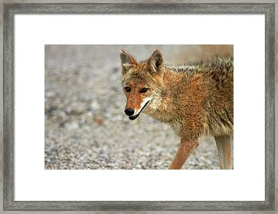 Coyote (canis Latrans Framed Print by David Wall