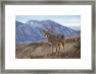 Coyote On Ridge Line Colorado Framed Print by Konrad Wothe