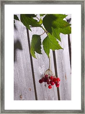 Cranberries On Tree Branch Framed Print by Donald  Erickson