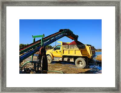 Cranberry Harvest Framed Print by Olivier Le Queinec
