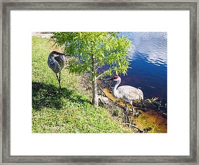 Cranes Framed Print by Zina Stromberg