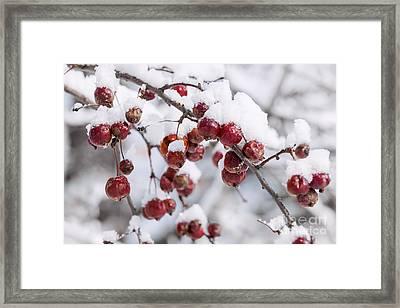 Crab Apples On Snowy Branch Framed Print by Elena Elisseeva