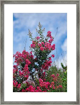 Crape Mytle Tree Blossoms Framed Print by Linda Phelps
