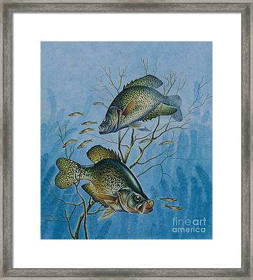 Crappie And  Framed Print by Jon Q Wright
