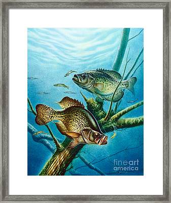 Crappie And Root Framed Print by Jon Q Wright