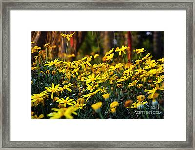 Crazy Daisies Framed Print by Kaye Menner