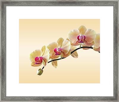 Cream Delight Framed Print by Gill Billington