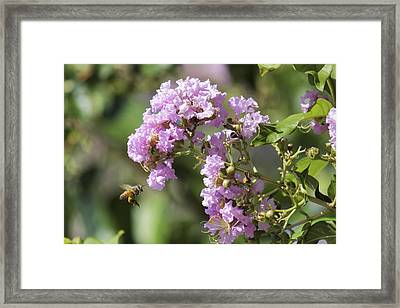 Crepe Myrtle And Honey Bee Framed Print by Jason Politte